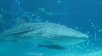 Wer ein Faible für Tiere hat sollte dem Osaka KAIYUKAN-Aquarium auf jeden Fall einen Besuch abstatten. Die gigantischen Wasserbecken eines der größten städtischen Innenaquarien beherbergen unter anderem Delfine, Seeotter, Rochen, […]