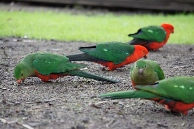 Vögel an der Ocean Road